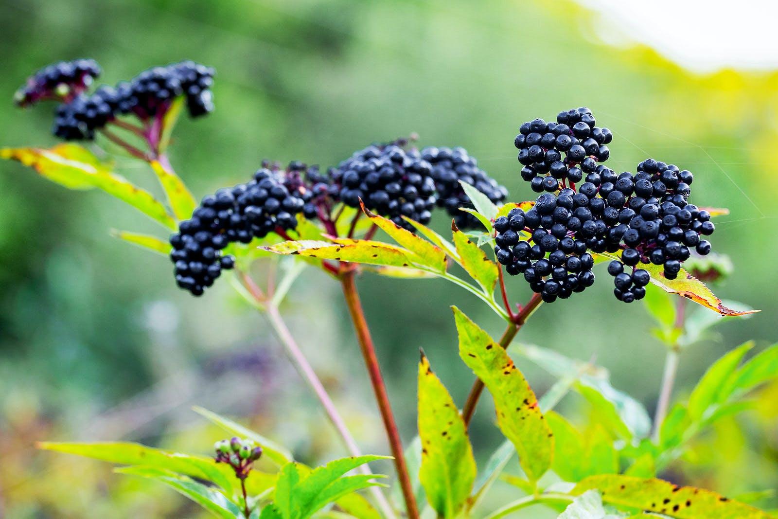 Elderberry berries Sambucus nigra