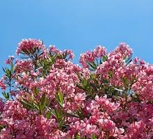 oleander flowers on the shrub