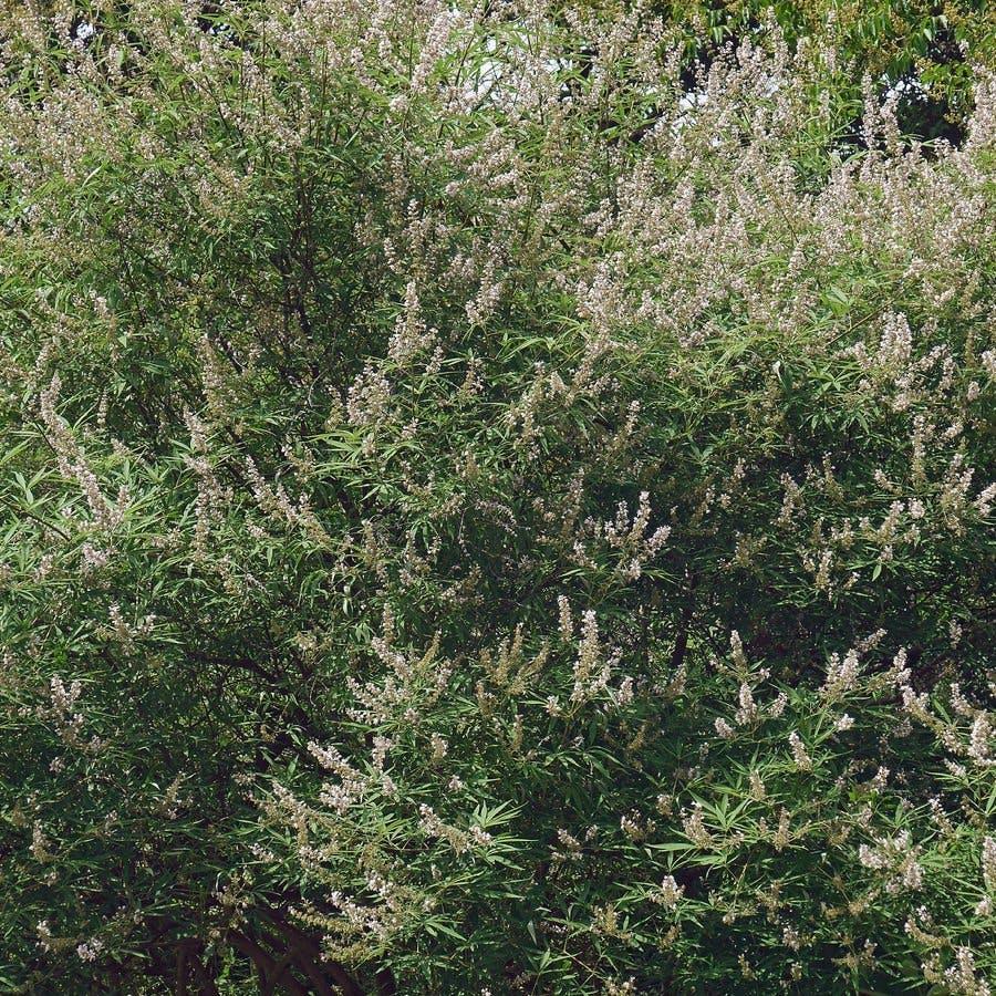 Chaste tree (Vitex agnus-castus). Called Vitex, Chasteberry, Abraham's balm, Lilac Chastetree and Monk's pepper also.