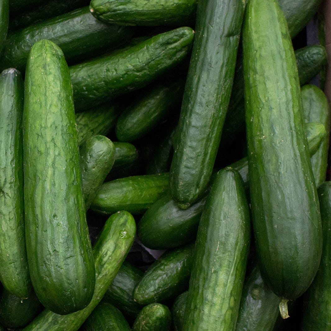 Cucumber background Cucumber harvest. many cucumbers. cucumbers from the field.