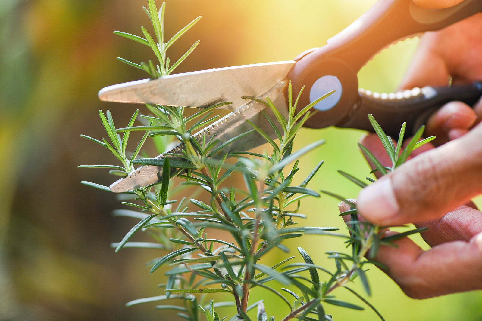 Cut rosemary plant growing in the garden for extracts essential oil / Pruning fresh rosemary herbs nature green background , selective focus