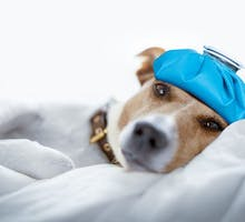 Dog with an icepack on his head