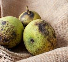 Three black walnuts in green fruit husks