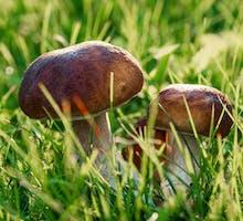 mushrooms growing in field