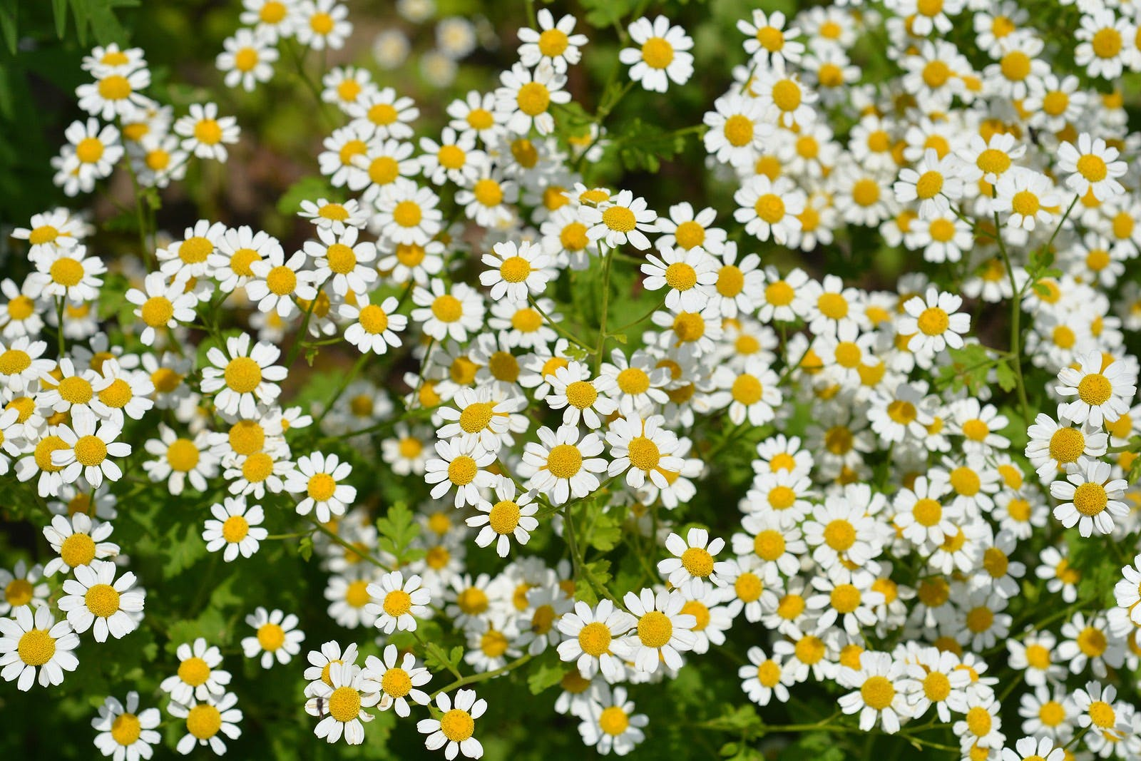 Multiple feverfew blossoms with white petals and yellow centers