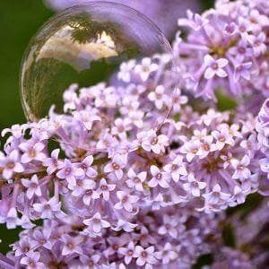 Delicate bubble on pretty French Lilac flowers ** Note: Soft Focus at 100%, best at smaller sizes