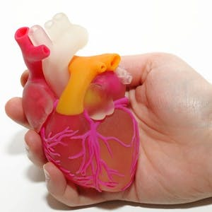 One Female Hand Holding 3D Printed Human Heart