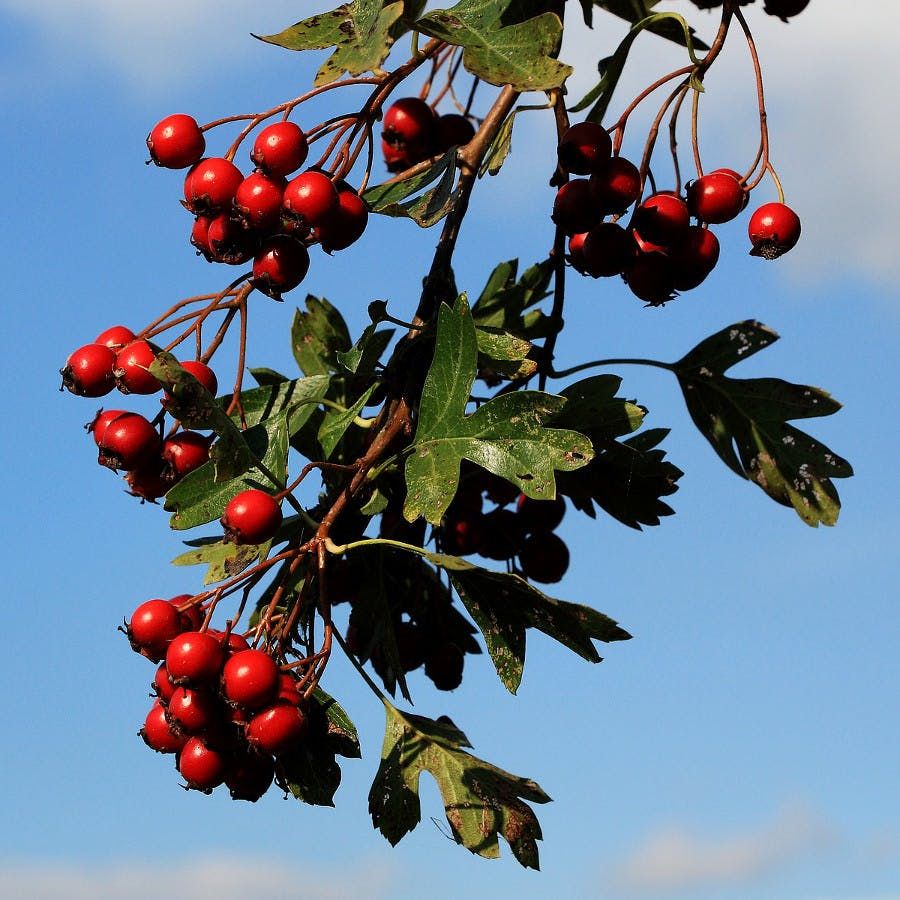 Cc0 from https://pixabay.com/en/hawthorn-berries-red-berry-red-1726549/