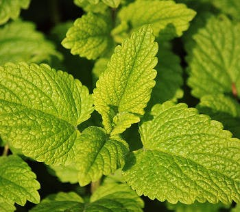 CC0 from https://pixabay.com/en/lemon-balm-herbs-herb-garden-785195/