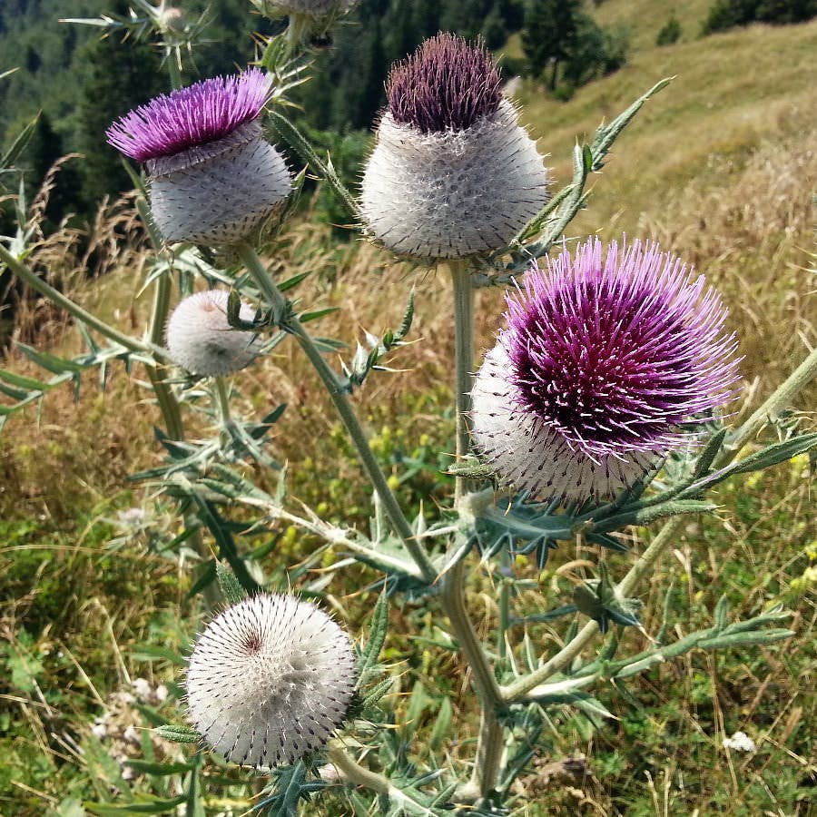 Purple milk thistles in bloom