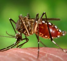 an Aedes aegypti mosquito biting and feeding