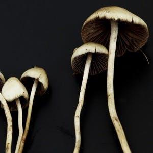 Psilocybe semilanceata, magic mushroom, cancer death anxiety