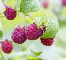 red raspberries on the bush