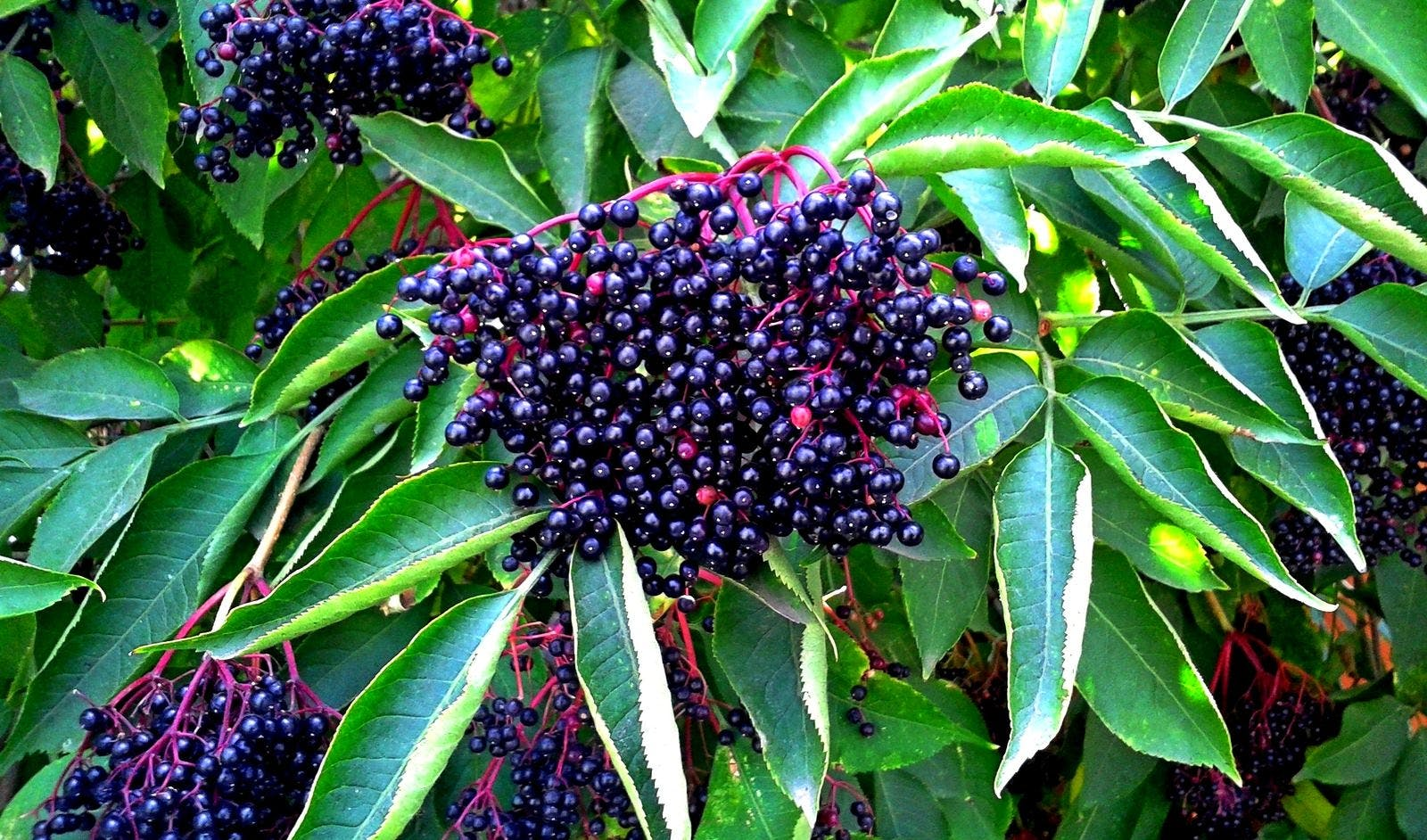 Ripe elderberries, also known as Sambucus berries, growing on a shrub; source of elderberry extract