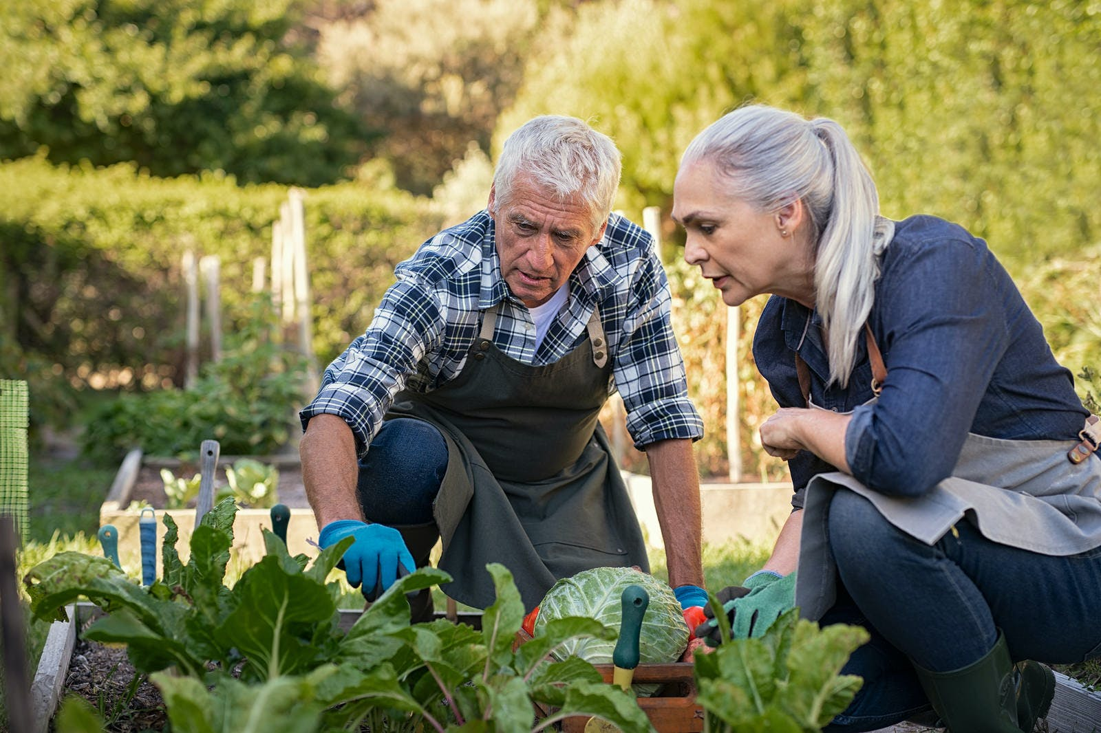 Senior man and mature woman wearing apron and picking vegetables at farm garden. Senior farmers looking at plants. Worried retired couple examine plants at backyard garden during the harvest.