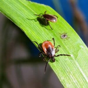 Tick bug insect Lyme disease, Ixodes scapularis