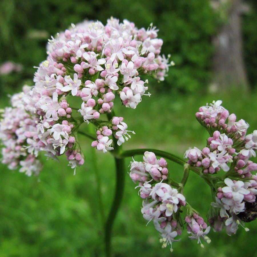 Cc0 from https://pixabay.com/en/valeriana-officinalis-garden-valerian-846615/
