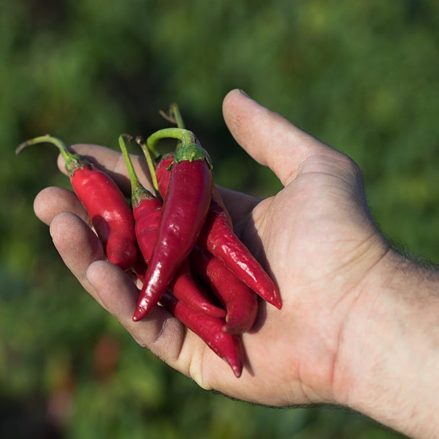 Hand holding some red chili peppers in a vegetable garden.