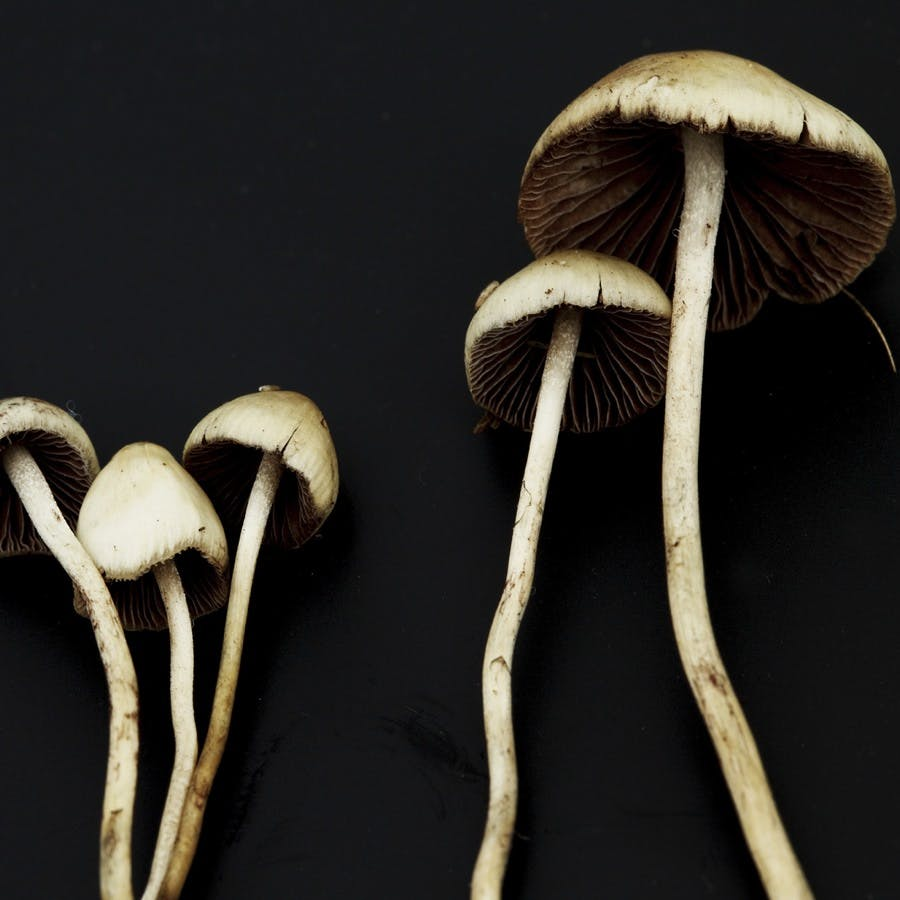 psilocybin containing mushrooms