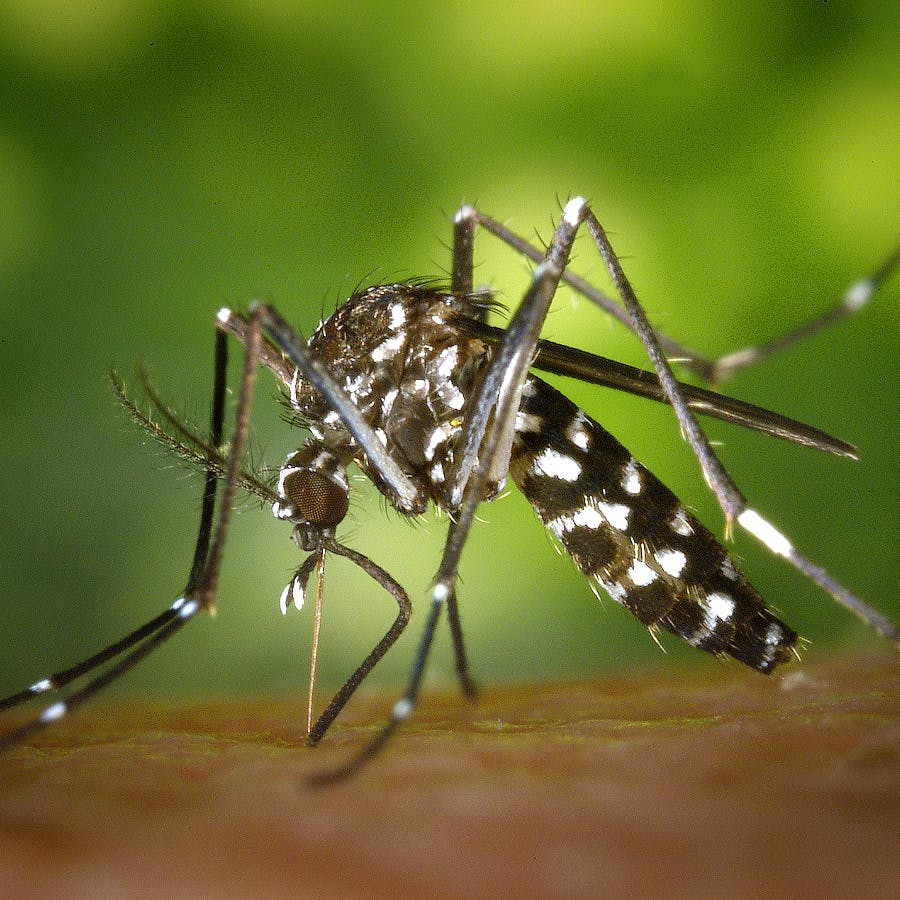 Cc0 from https://pixabay.com/en/tiger-mosquito-mosquito-49141/